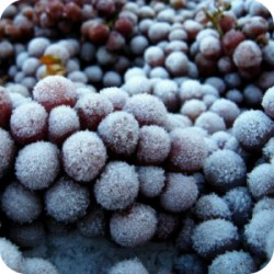 Ice Wine Frozen Grapes
